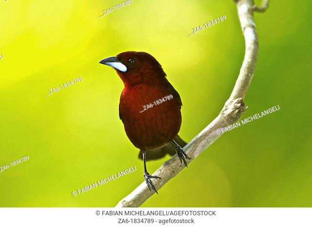 Silver-beaked tanager Ramphocelus carbo perched on a bush in the rain forest in Venezuela