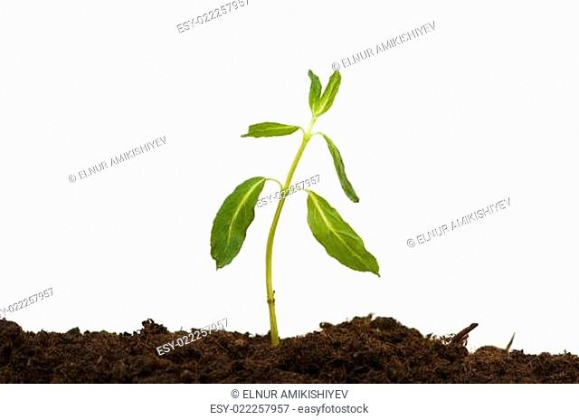 Seedlings isolated on the white background