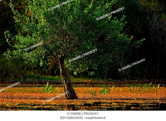 Solitaire tree in the water river march, Pantanal, Brazil