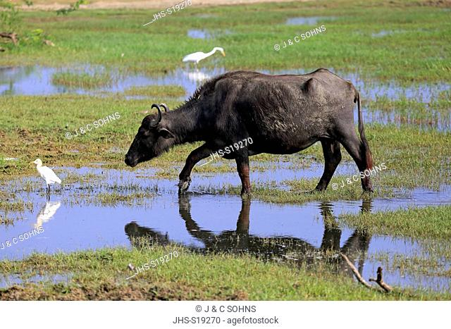 Water Buffalo, (Bubalis bubalis), adult in water with Cattle Egret, (Bubulcus ibis), Bundala Nationalpark, Sri Lanka, Asia