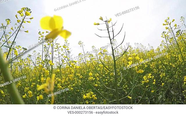 Walking in a flowering rapeseed field, shooting close up, from a low point, among the plants