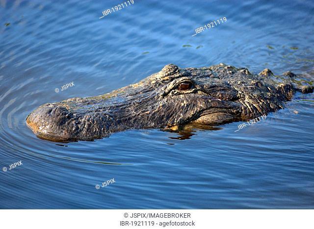 American alligator (Alligator mississippiensis), adult, in water, portrait, Florida, USA