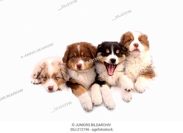 Australian Shepherd. Four puppies (6 weeks old) lying next to each other, one of them yawning Studio picture against a white background