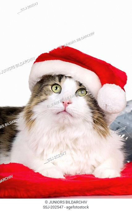 Norwegian Forest Cat. Adult wearing a Santa Claus hat. Studio picture against a white background. Germany