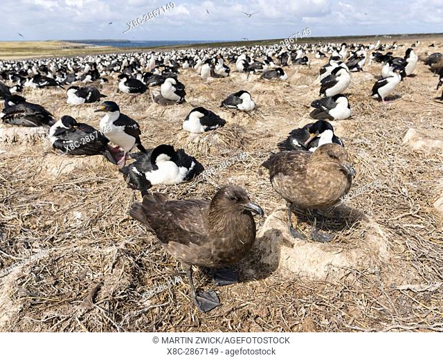 Falkland Skua or Brown Skua (Stercorarius antarcticus, exact taxonomy is under dispute), preying on a colony of Imperial Shags
