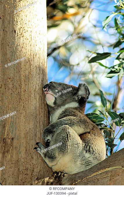 Koala - on tree / Phascolarctos cinereus