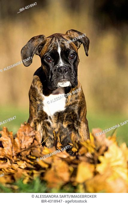 Boxer puppy sitting in autumn leaves