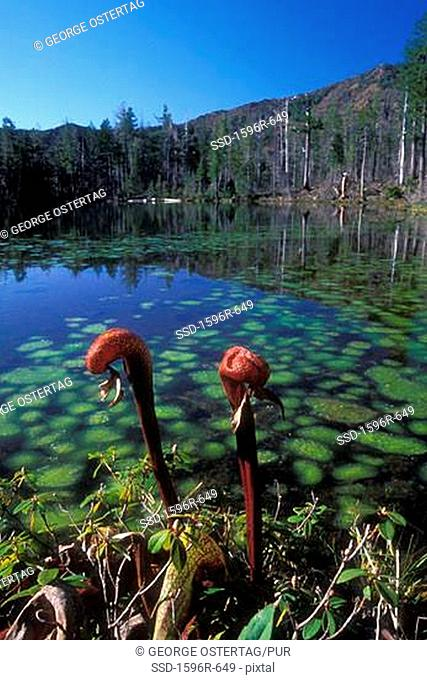Pitcher plants in a lake, Vulcan Lake, Kalmiopsis Wilderness, Siskiyou National Forest, Oregon, USA