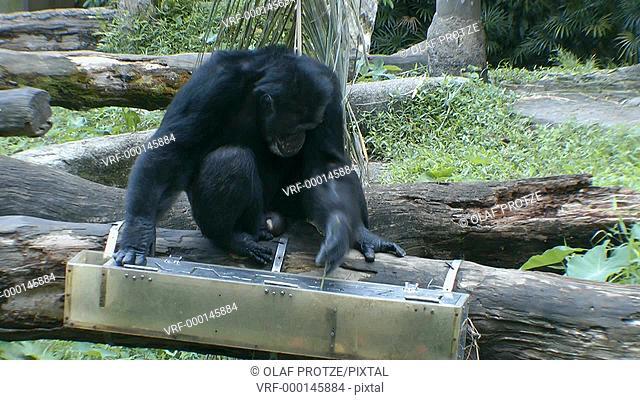 Chimpanzee gathering food from box