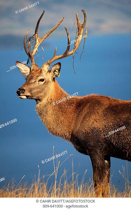 Red Deer (Cervus Elaphus) at Deerpark Heights looking out over Lake Wakatipu, Kelvin Peninsula, Queenstown, Otago & South land, South Island, Newzealand
