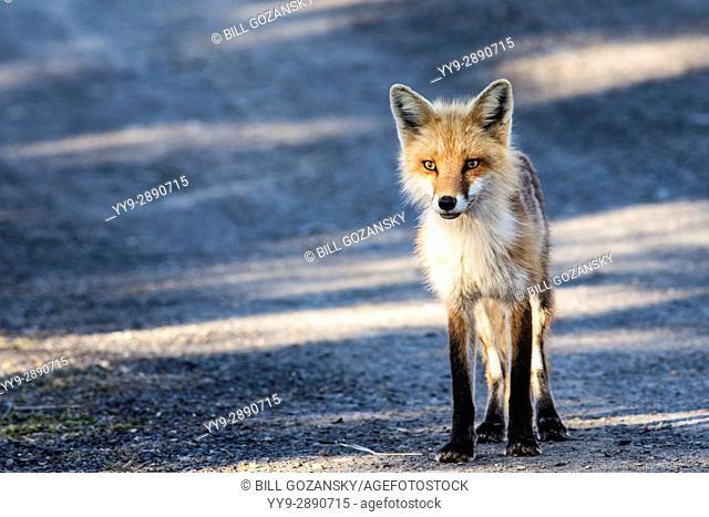 Red fox (Vulpes vulpes) - Crow Head, Twillingate, Newfoundland, Canada