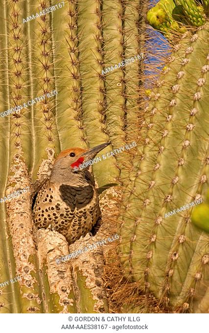 Gilded flicker (Colaptes chrysoides) in nest hole in saguaro cactus. Pima County, AZ