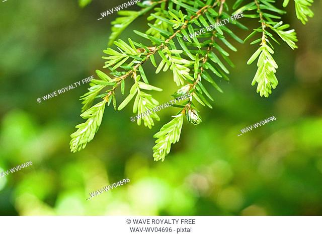Western hemlock Tsuga Heterophylla in Olympic National Park