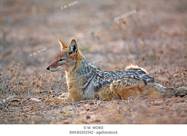 black-backed jackal (Canis mesomelas), lying on the ground in the first morning sun, South Africa, Kgalagadi Transfrontier National Park