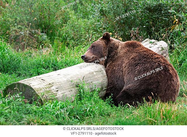 A grizzly bear sleeping on a log in alaska