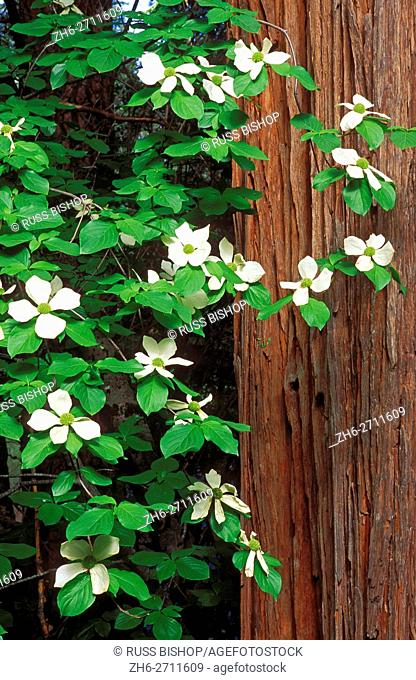 Mountain Dogwood in bloom against Redwood, Yosemite Valley, Yosemite National Park, California USA