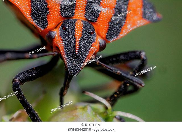 Italian Striped-Bug, Minstrel Bug (Graphosoma lineatum, Graphosoma italicum), head with proboscis, Germany, Bavaria, Niederbayern, Lower Bavaria