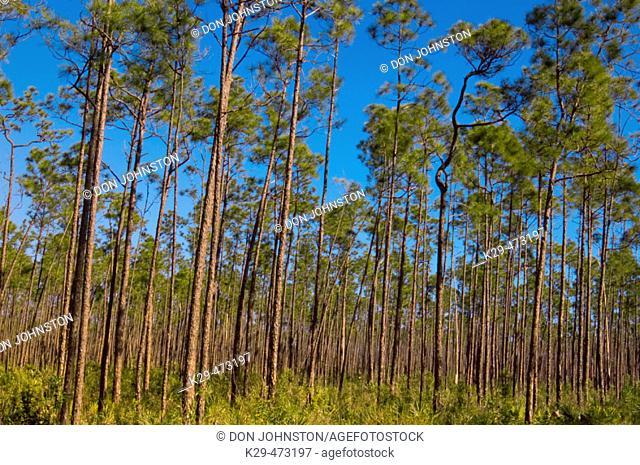 Pine flatwoods forest- Long Pine Key. Everglades NP, FL, USA