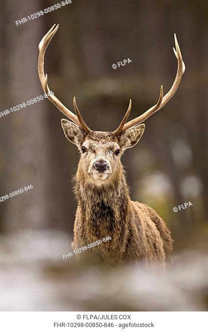 Red Deer Cervus elaphus stag, standing in snow covered pine forest, Cairngorm N P , Highlands, Scotland, january