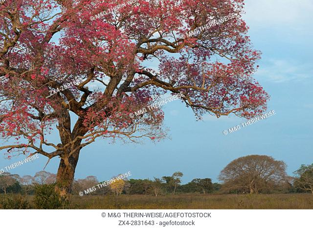 Pink Ipe tree (Tabebuia ipe) during the flowering season, Pantanal, Mato Grosso State, Brazil