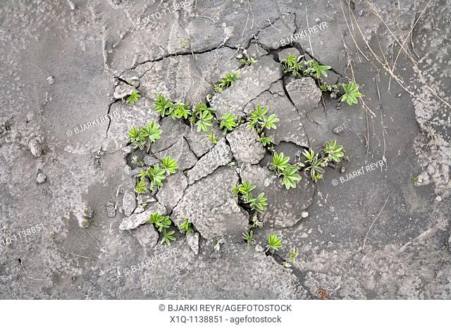 Thorsmork - Iceland, June 9, 2010 : Volcanic ash from Eyjafjallajokull volcano is still blowing around south and southwest Iceland  Plants are fighting their...