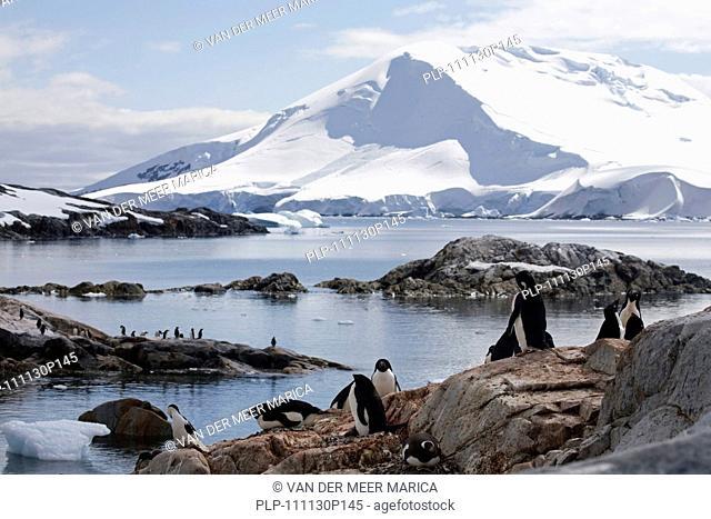 Adélie Penguin Pygoscelis adeliae colony on Petermann Island, Antarctica