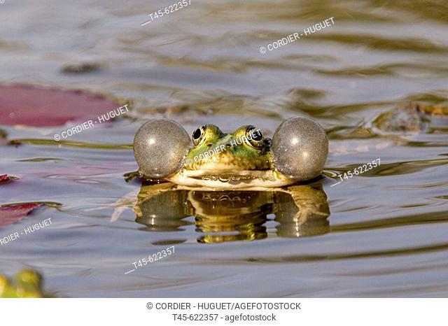 Green Frog. Rana esculenta. April 2006