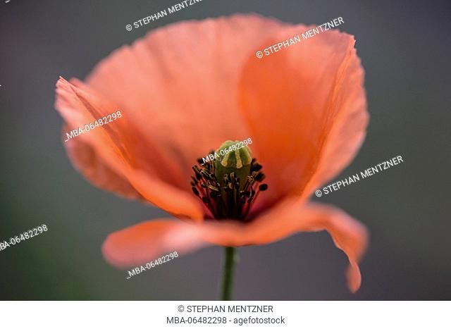 Clap poppy seed, Papaver rhoeas, blossom, medium close-up, released