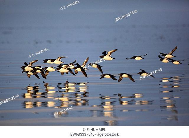 Bruennich's guillemot (Uria lomvia), flock in flight, Canada, Nunavut, Bylot Island