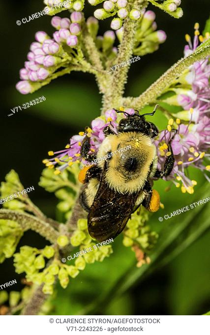 Digger Bee (Anthophora abrupta) Feeding on Beauty Berry (Callicarpa americana) Flower