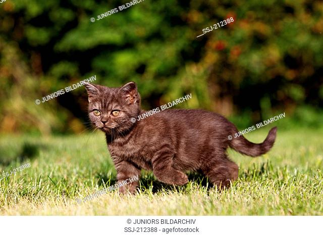 British Shorthair. Brown kitten (8 weeks old) walking on a lawn. Germany