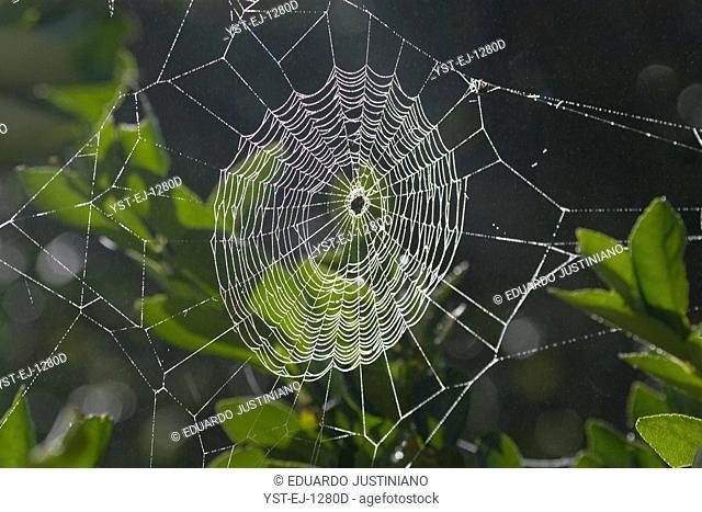 Spider's web, São Paulo, Brazil