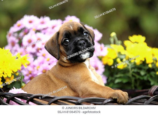 German Boxer. Tricolored puppy (6 weeks old) in a wicker basket next to flowers. Germany