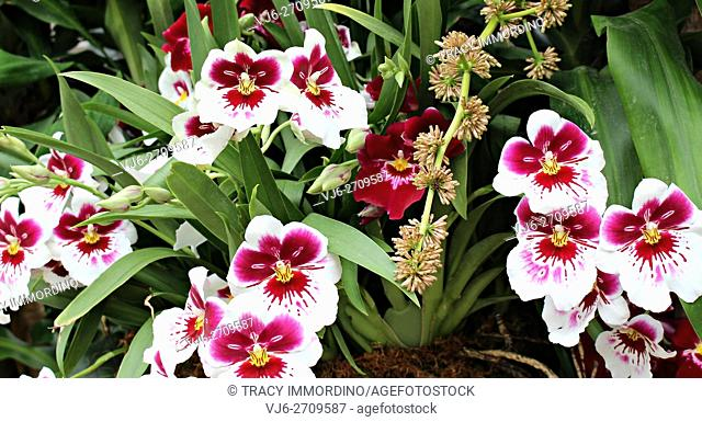 Close up of a cluster of Miltonia White Truffle Bright Eye Orchids and Miltoniopsis Lennart Karl Gottling Red Rim Orchids in differing stages of bloom