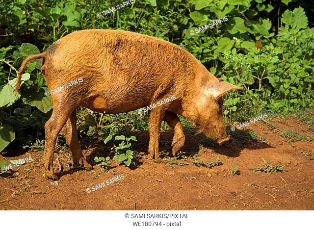 Red pig fossicking for food on a muddy path, Vinales, Cuba