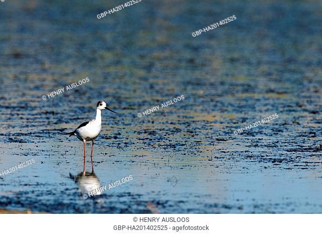 Echasse blanche, Black winged Stilt, Himantopus himantopus