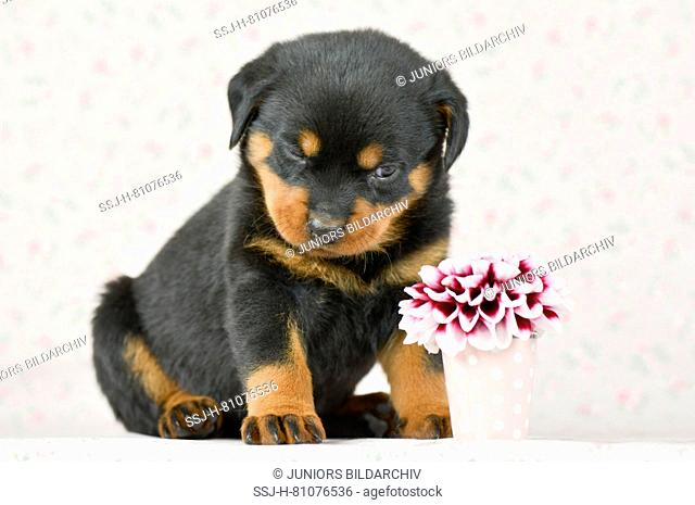 Rottweiler. A puppy (5 weeks old) gives a dahlia flower a very critical look. Studio picture. Germany