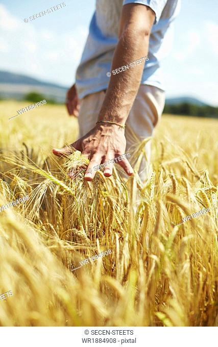 Person In Wheat Field, Croatia, Dalmatia, Europe