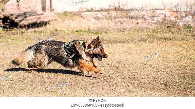 Furious German shepherd dog training. Running dog. Alsatian Wolf Dog. Deutscher, dog