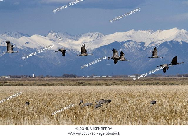 Sandhill Cranes (Grus canadensis) Monte Vista NWR, in flight, Sangre de Cristo Mountains back, Colorado, habitat USA, March 2008