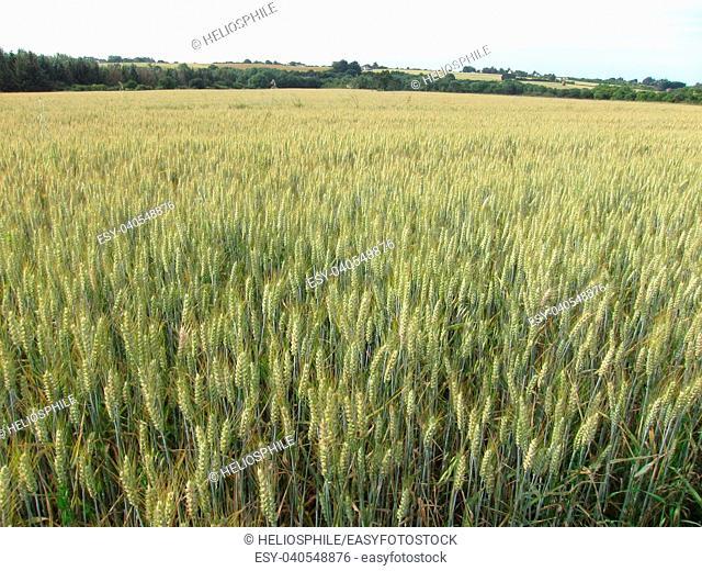 Wheat field in Brittany