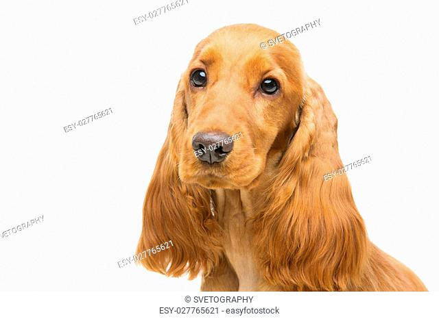 Portrait of beautiful young brown English cocker spaniel dog isolated over white background. Closeup studio shot. Copy space