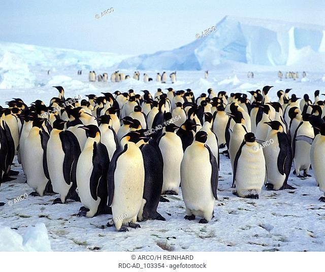 Emperor Penguin colony Dawson Lambton Glacier Antartica Aptenodytes forsteri