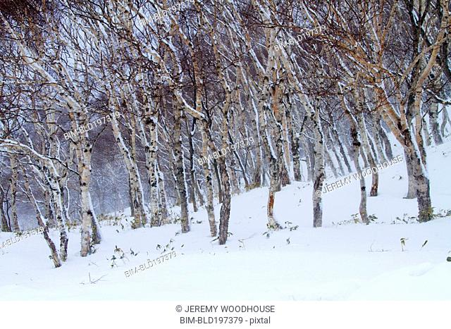 Birch tree and snow covered ground