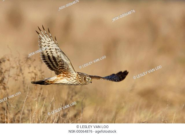 Hen Harrier (Circus cyaneus) flying, The Netherlands, Noord-Holland