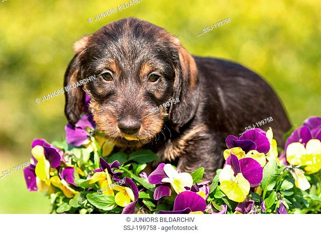 Wire-haired Dachshund. Puppy investigating Horned Pansies. Germany