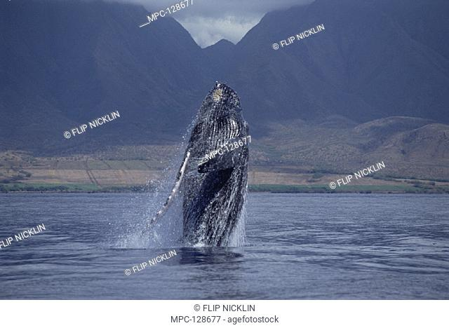 HUMPBACK WHALE (Megaptera novaeangliae), BREACHING, MAUI, HAWAII. NOTICE MUST ACCOMPANY PUBLICATION PHOTO OBTAINED UNDER N.M.F.S. PERMIT #987