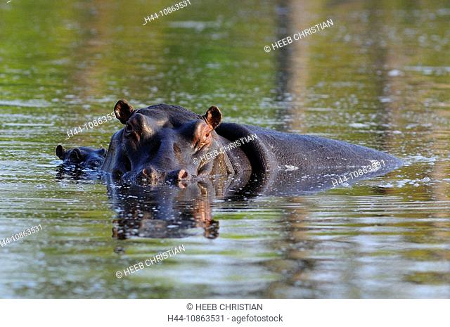 Hippopotamus, Hippopotamus amphibius, Ulusaba Sir Richard Branson's Private Game Reserve, Sabi Sands Game Reserve, Mpumalanga, South Africa, hippo, hippos