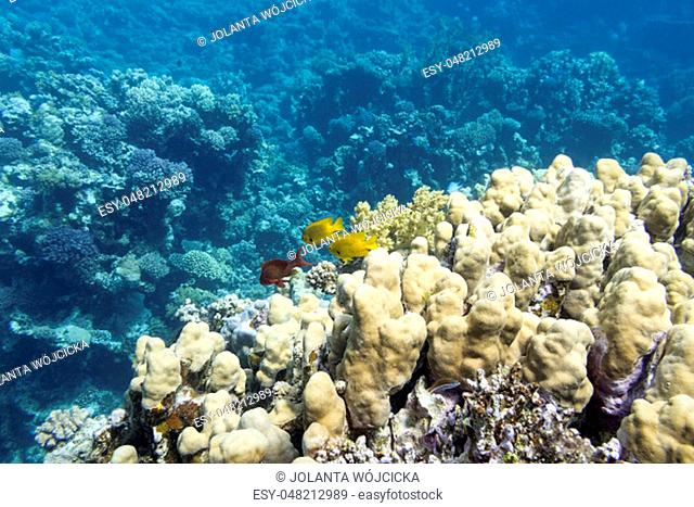 Colorful coral reef at the bottom of tropical sea, great hard corals, underwater landscape