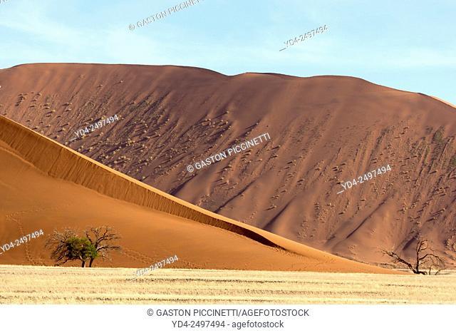 Camelthorn trees (Acacia erioloba), and a red sand dune at the back (Dune 45), Namib-Naukluft National Park, Namib desert, Namibia